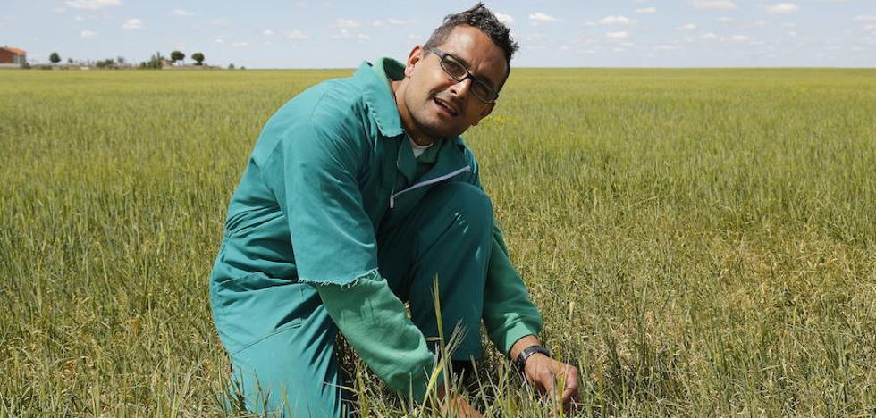 La cosecha ya se ha perdido en el 60% de la provincia de Palencia