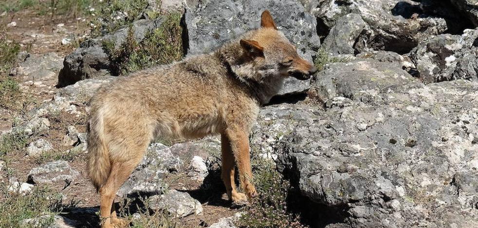 Bruselas abre la puerta a poder cazar lobos al sur del Duero