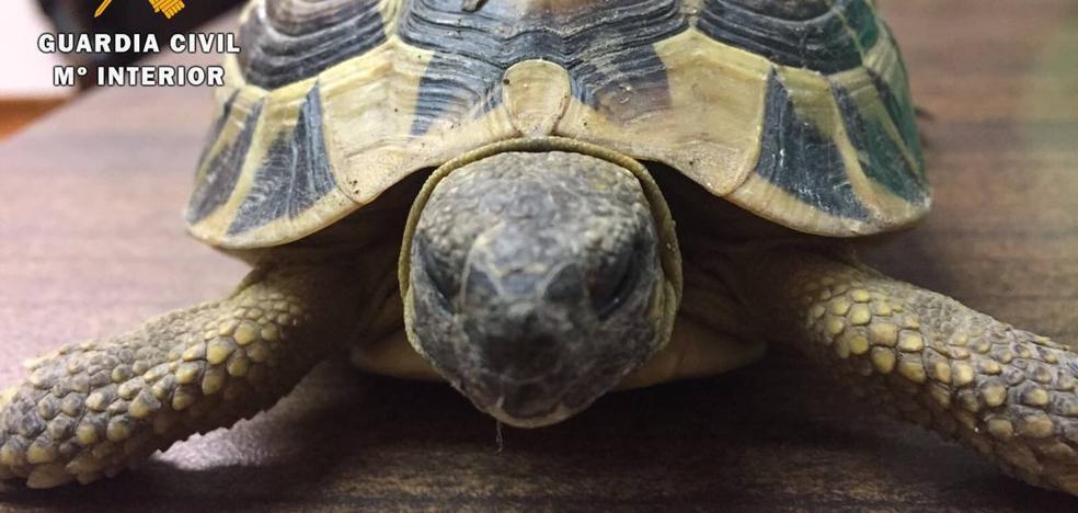 Una tortuga de especie protegida paseaba por el centro de Ávila