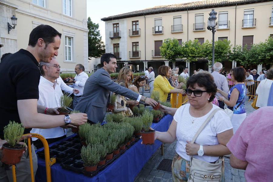 Procesión de San Juan y reparto de tomillo en la Plaza Mayor de Palencia