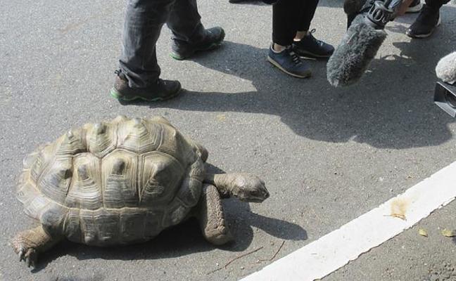 Un zoo de Japón halla a 140 metros a una tortuga que escapó hace dos semanas