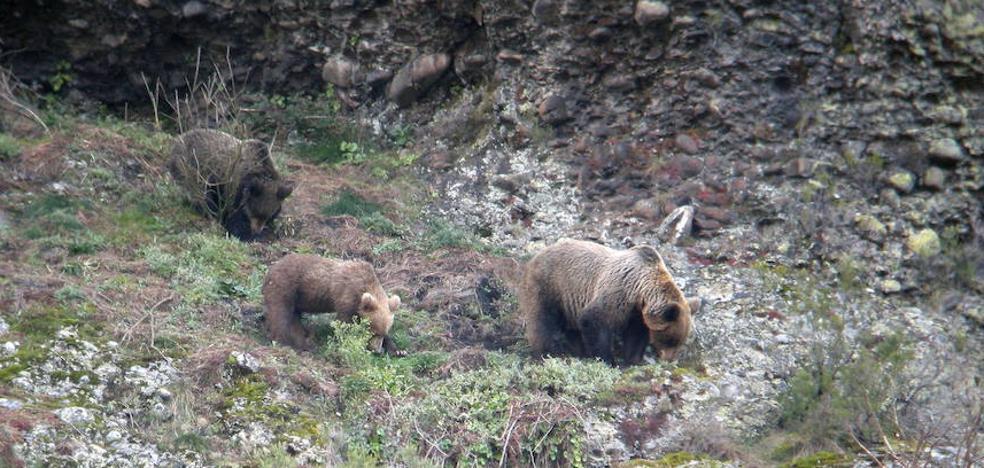 El oso pardo consolida su presencia en la Montaña Palentina