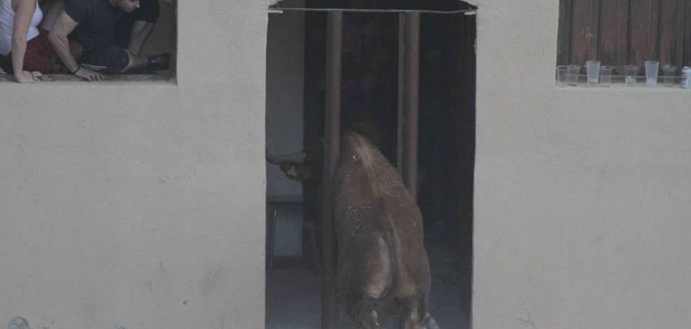Tensión en Peñafiel por un novillo encajado entre los barrotes de las casas