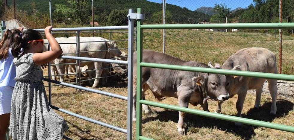 Requisitos sanitarios limitan la presencia de ganado en la feria de La Pernía a terneros