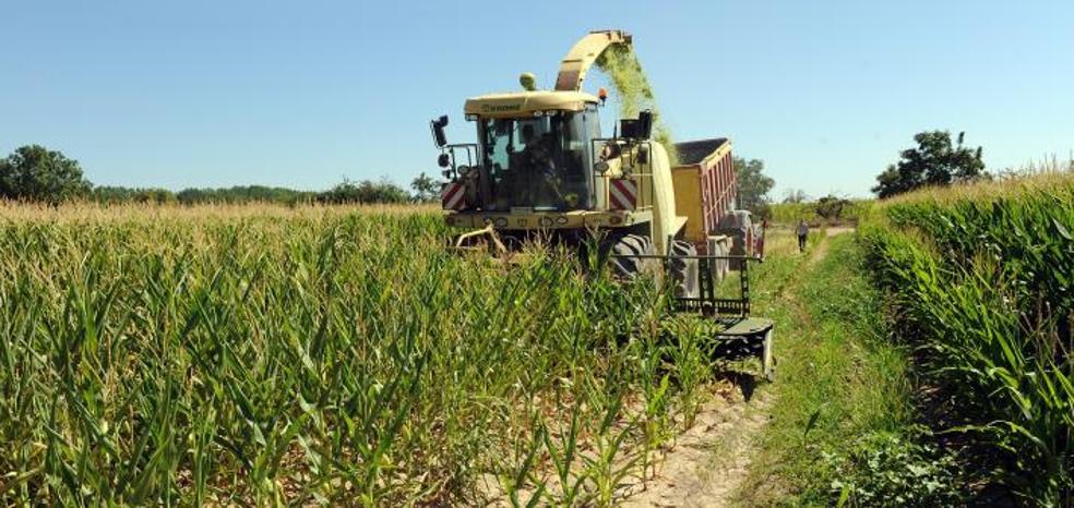 Agricultores del Bajo Duero recogen el maíz en verde para reducir pérdidas