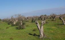 La Bacteria que Amenaza el olivo