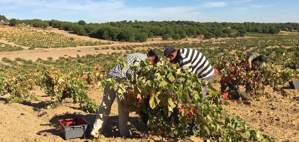 La DO Toro espera unos 20 millones de kilos de uva en un año marcado por la sequía
