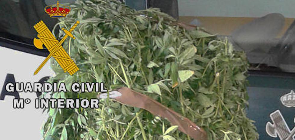 Desmantelada una plantación de marihuana en el Valle de Tobalina