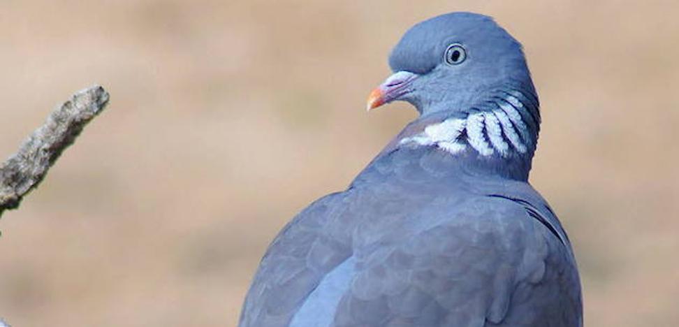 Me temo que ganarán las palomas