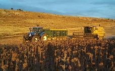 La cosecha de girasol arrancará en Soria a primeros de octubre si no caen antes fuertes heladas