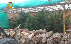 Incautan 11 plantas de 90 kilos de marihuana en Ávila