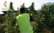 Intervenidas 106 plantas de marihuana en cuatro pueblos