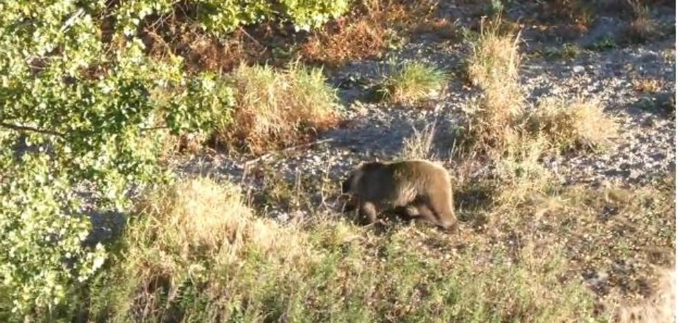 Decenas de turistas acosan a un oso en el Alto Sil leonés