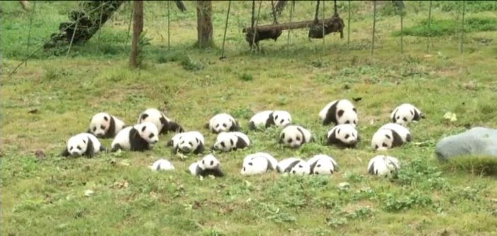 Una enorme foto de familia de osos panda