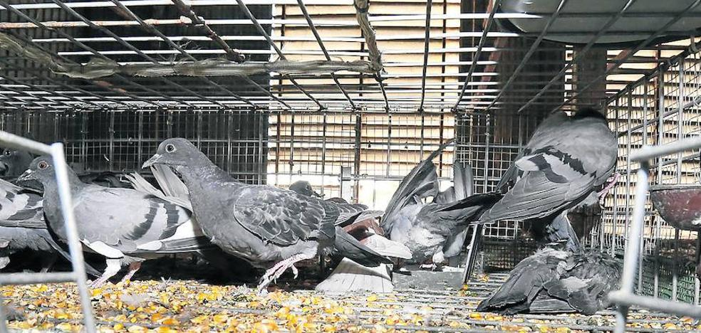 Palencia intensifica las jaulas trampa para controlar la plaga de palomas
