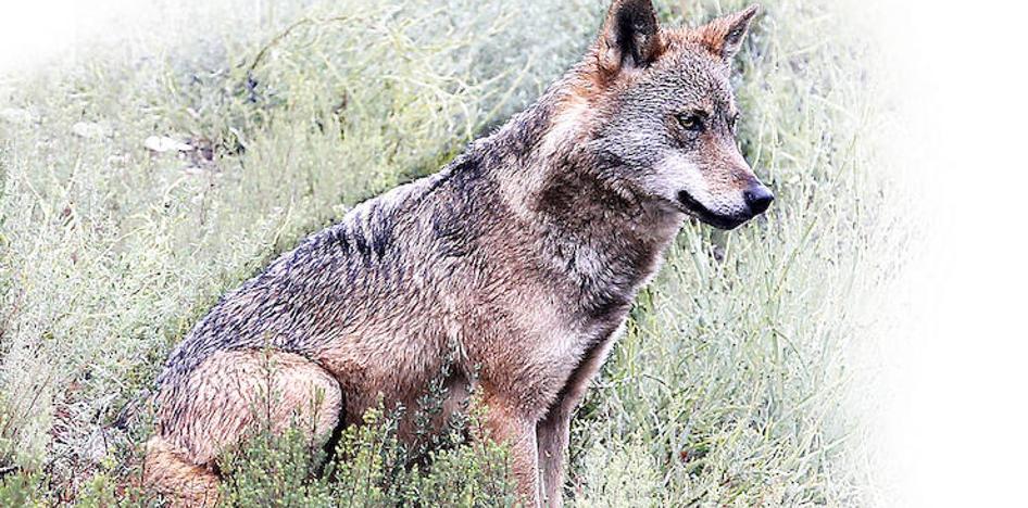 Expertos europeos abordan el problema del lobo al sur del Duero