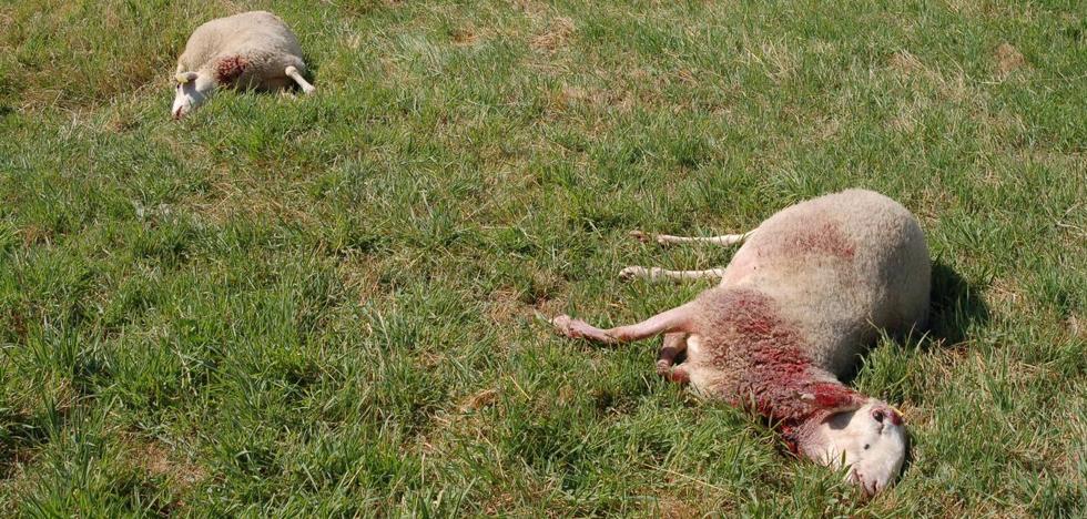 El ataque de un lobo deja once ovejas muertas en Ahigal de los Aceiteros