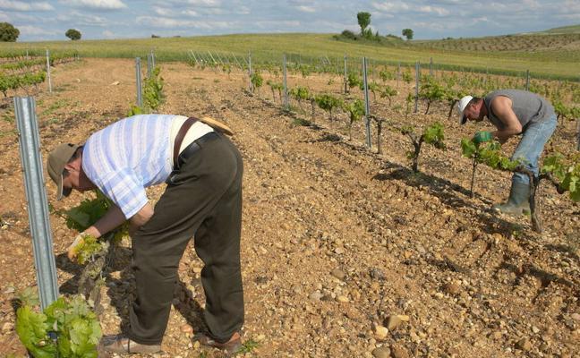 Aumenta la contratación de temporeros en la Ribera del Duero pese a la merma de la coseha