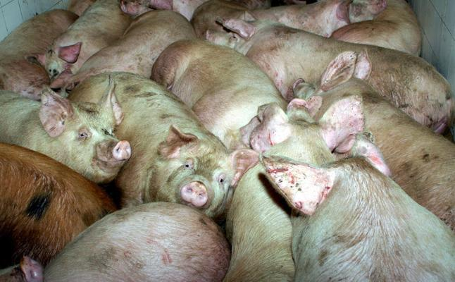 Intoxicadas cuatro personas en Soria por consumir carne de dos cerdos que sacrificaron sin control veterinario