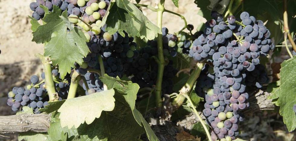 La DO Ribera del Duero cierra la vendimia con 55 millones de kilos de uva de «excelente calidad»