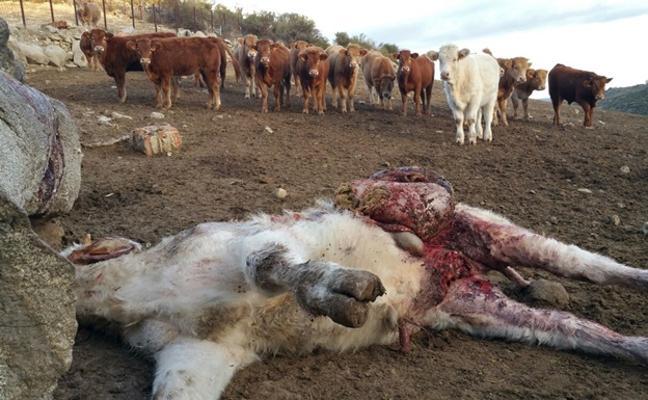 Asalto de lobos en un cebadero de El Barraco con un ternero muerto