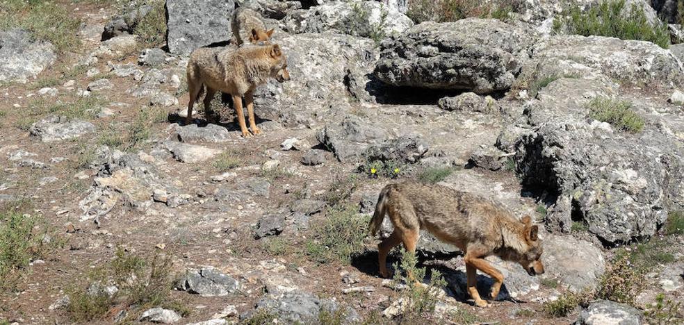 Orina de lobo para evitar que la fauna cruce la Nacional 631 en Zamora