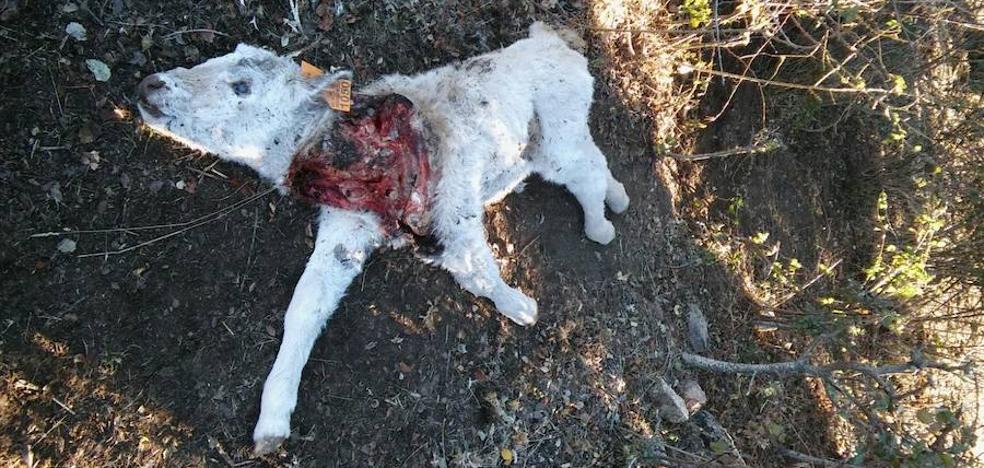 Horcajada y Medinilla pierden dos terneros por ataques de lobos