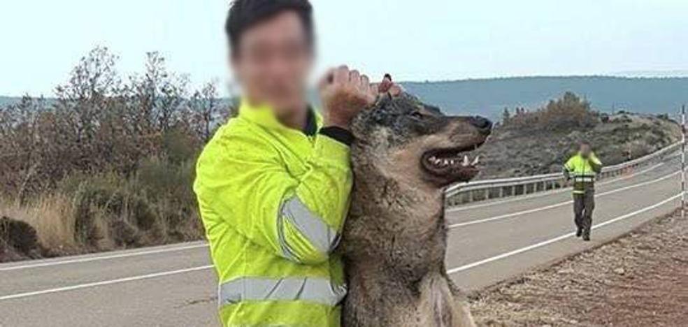Tragsa lamenta la foto de uno de sus operarios con un lobo muerto en Palencia