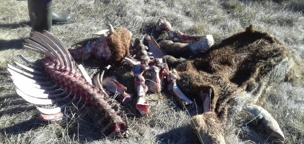 Los lobos matan una novilla y una ternera en San Cebrián de Mudá