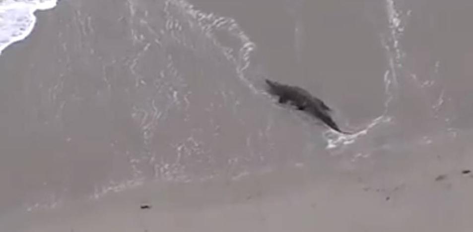 Aparece un cocodrilo de dos metros en una playa de Florida
