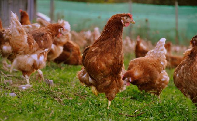 Canciones de Julio Iglesias para aumentar la producción de las gallinas