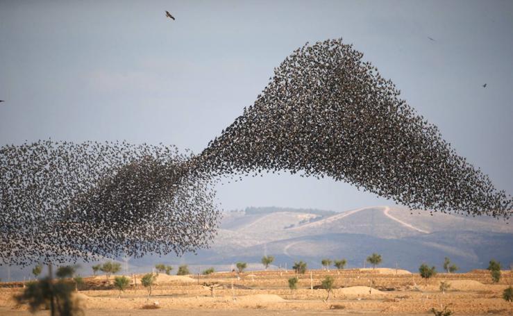 El espectacular vuelo de los estorninos