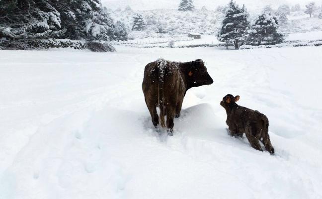 Los ganaderos de Ávila piden compensaciones por los estragos de la nevada