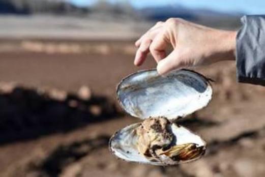 Preocupación en Aguilar por el gran número de almejas de río muertas en el pantano