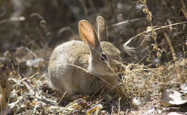 Asaja exige medidas para controlar la plaga de conejos en Palencia