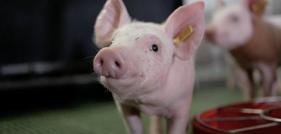 El sector porcino defiende su buen trabajo ante el deterioro de la imagen de las granjas