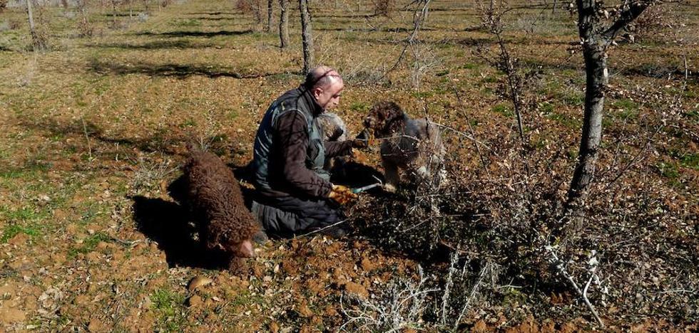 'Balto', el perro que localizó las tres primeras trufas 'made in zamora'