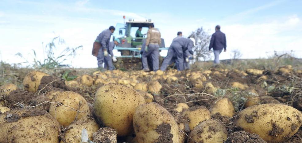 La Asociación de Productores de Patatas de Castilla y León definirá hoy su junta directiva
