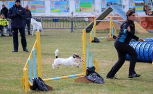 Destreza canina en la competición Agility celebrada en Baltanás