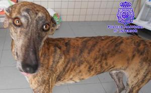 Detenido el dueño de un perro como presunto autor de un delito de maltrato animal
