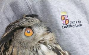 Una hembra de búho real llega con un disparo al Centro de Recuperación de Animales Silvestres de Valladolid