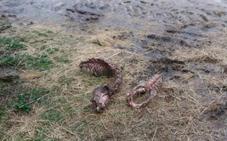 Dos animales muertos en un nuevo ataque de lobos