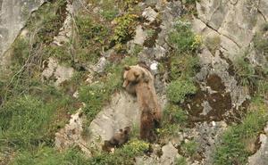 El análisis de la sangre revela que el oso herido en Casavegas es una hembra