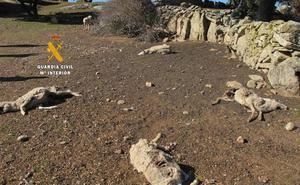 Investigan al dueño de 131 ovejas por dejarlas morir por inanición