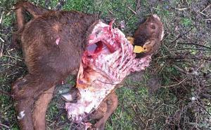 Nuevo ataque de lobos en Zapardiel de la Cañada, el sexto al mismo ganadero en tres meses