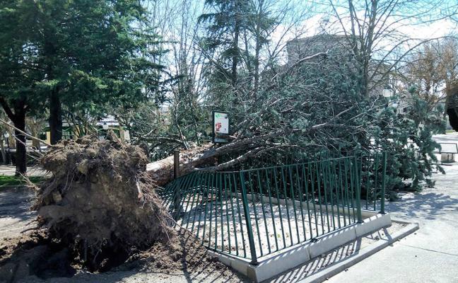 Un árbol se desploma sobre un 'pipican' en Cuéllar debido al fuerte viento