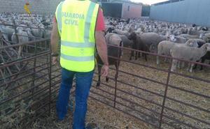 La Guardia Civil detiene a tres personas por el robo de 65 corderos en una explotación ganadera
