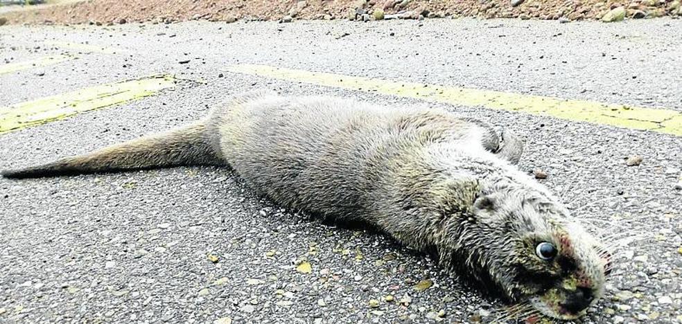 Encuentran una nutria muerta en Renedo de Esgueva