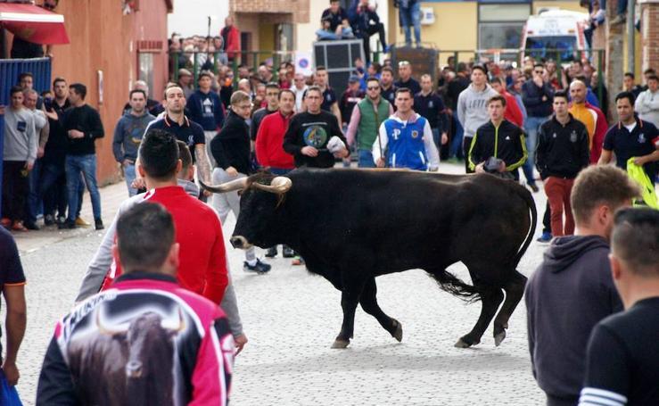 Primera suelta Toro 25 Aniversario AC Afición Taurina de Pedrajas