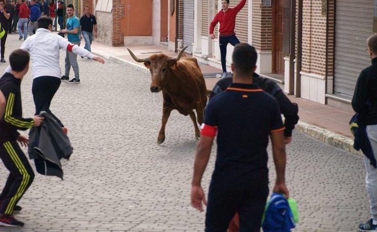 Suelta de toros en Pedrajas de San Esteban